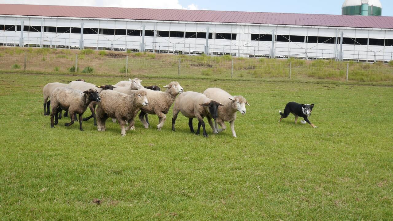 マザー牧場羊と犬
